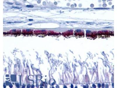 Peropsin / RRH Antibody