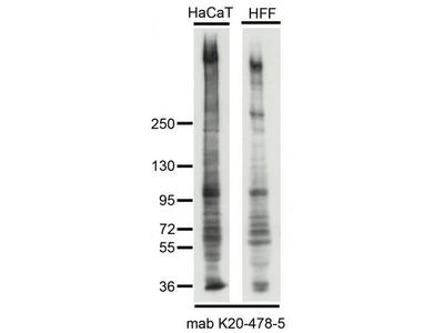 SYNE2 / Nesprin-2 Monoclonal Antibody