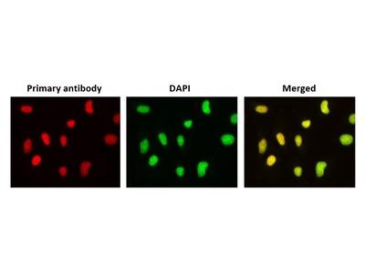 Anti-PHLDA3 antibody [4B6]