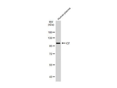 Anti-C7 antibody