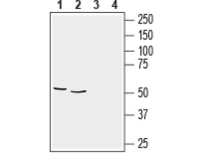 Anti-GFAP Antibody