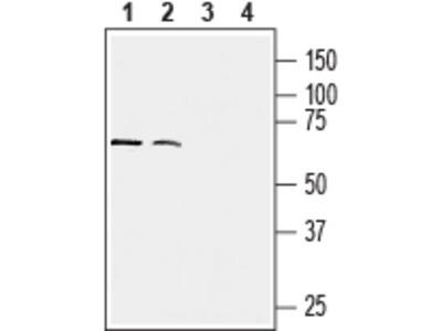 Anti-Human CX3CR1 (extracellular) Antibody