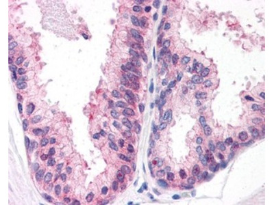 ENPP-3 / CD203c Antibody