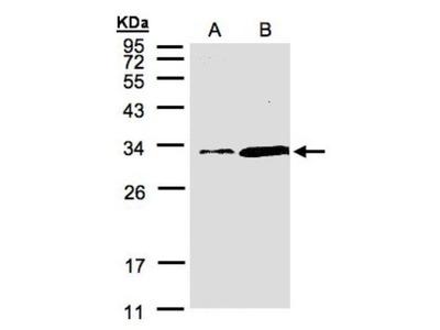 PITPN Antibody