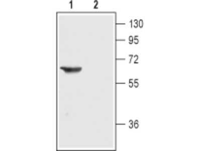 Anti-Nicotinic Acetylcholine Receptor alpha3 (CHRNA3) (extracellular) Antibody