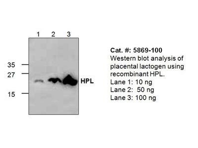 Placental Lactogen Antibody