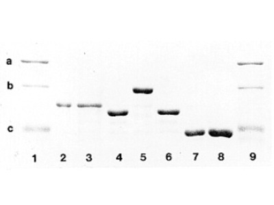 alpha skeletal muscle Actin / ACTA1