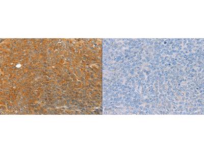 Rabbit Polyclonal Anti-TRIM21 Antibody