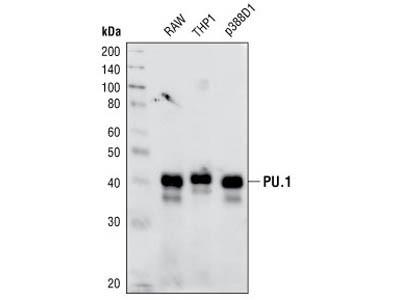 PU.1 (9G7) Rabbit mAb