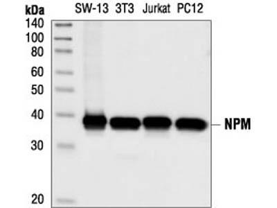 NPM Antibody