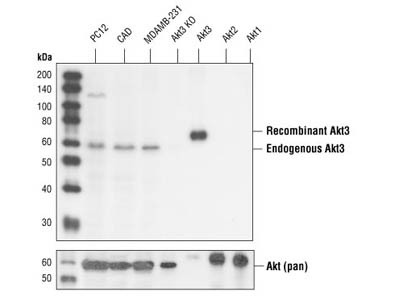 Akt3 (62A8) Rabbit mAb