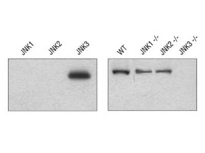 JNK3 (55A8) Rabbit mAb
