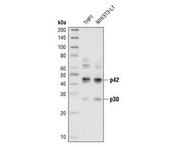 C/EBPα Antibody