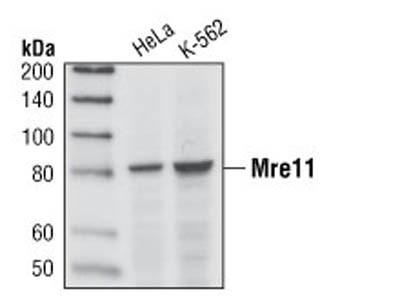 Mre11 (31H4) Rabbit mAb