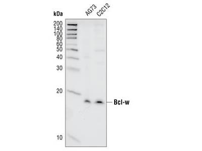 Bcl-w (31H4) Rabbit mAb