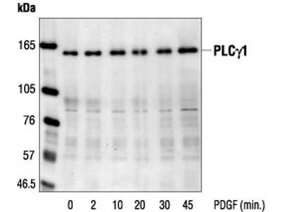 PLCγ1 Antibody