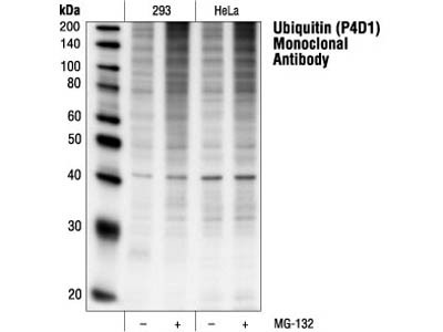 Ubiquitin (P4D1) Mouse mAb