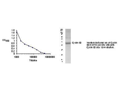 Cyclin E2 (CCNE2) (N-term) rabbit polyclonal antibody
