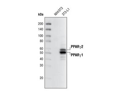 PPARγ (81B8) Rabbit mAb