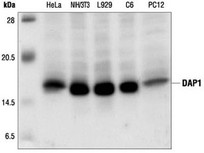 DAP1 Antibody