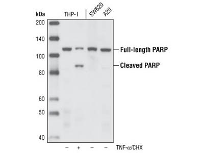Parp 46d11 Rabbit Mab 9532s From Cell Signaling