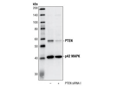 PTEN Detection by WB