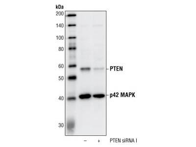 PTEN (138G6) Rabbit mAb