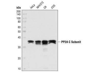 PP2A C Subunit Antibody