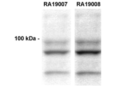 CLACP (COL25A1) (NC2-1 region) rabbit polyclonal antibody
