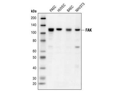 FAK Antibody