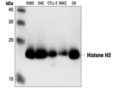 Reliable primary antibody in western blot analysis