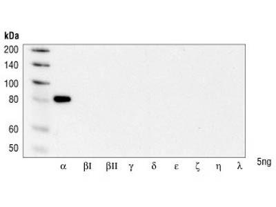 PKCα Antibody