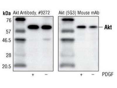 Akt/PKB protein expression analysis via Western blotting