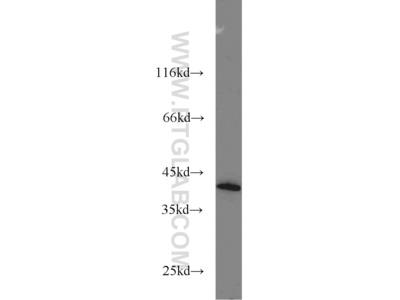 DAP3 Antibody