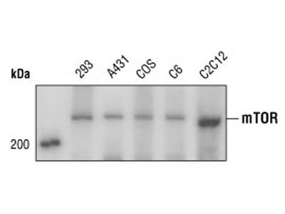 Great Antibody To Stain mTOR For Confocal Microscopy