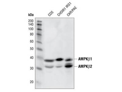 Very Good Total AMPK Antibody