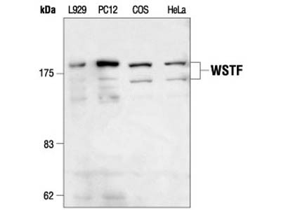 WSTF Antibody