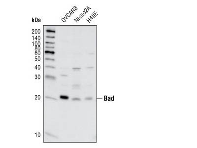 Bad (11E3) Rabbit mAb (IP Preferred)