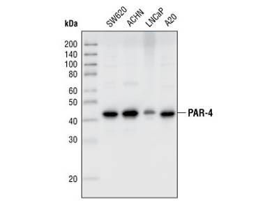 PAR-4 Antibody