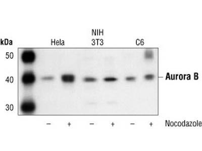 Aurora B/AIM1 Antibody