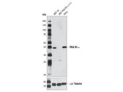 PKA RI-α (D54D9) Rabbit mAb