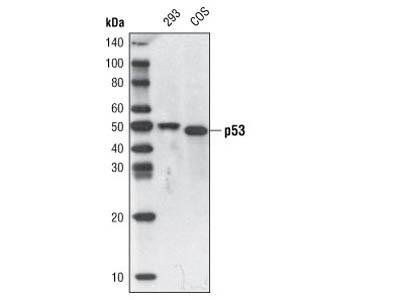 p53 (7F5) Rabbit mAb (Biotinylated)