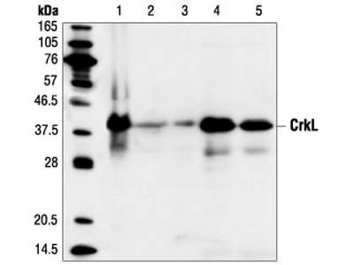 CrkL (32H4) Mouse mAb