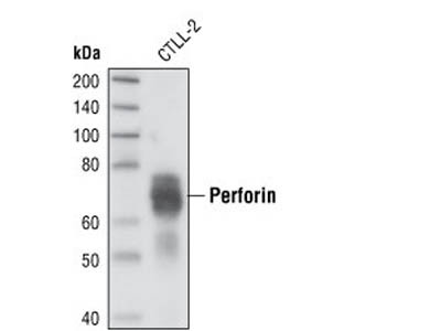 Perforin Antibody (Mouse Specific)
