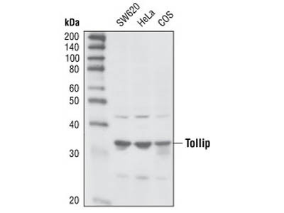 Tollip Antibody