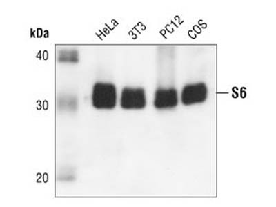 S6 Ribosomal Protein (54D2) Mouse mAb