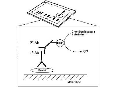 foto de Anti-rat IgG, HRP-linked Antibody 7077S from Cell Signaling ...