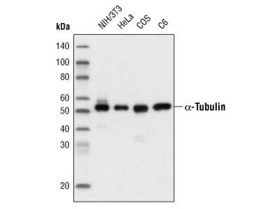 α-Tubulin (11H10) Rabbit mAb (HRP Conjugate)