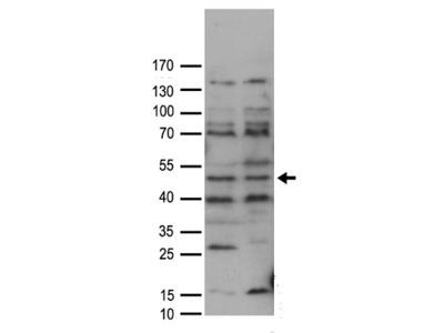 Rabbit polyclonal anti-FAM175A Antibody