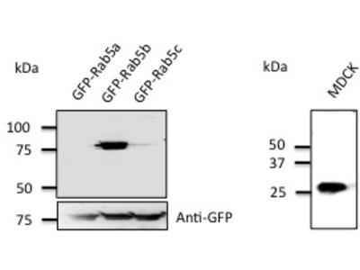 Goat Polyclonal Anti-Rab5b Antibody
